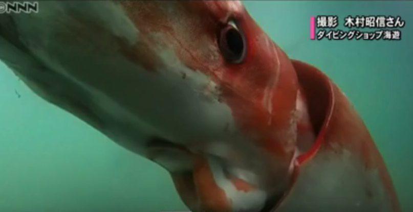 Un calamar géant dans la baie de Toyoma
