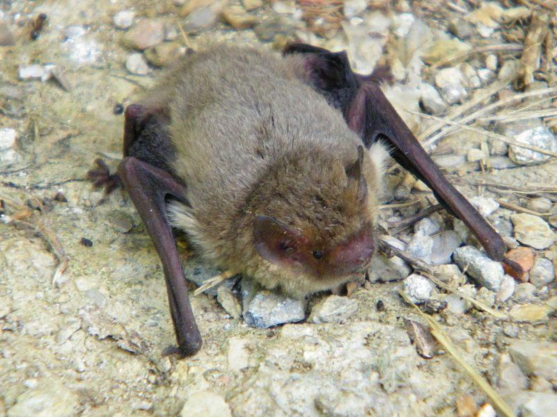 Drôme : une chauve-souris diagnostiquée comme atteinte de la rage