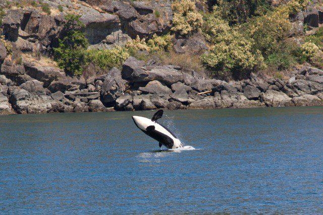 Un orque