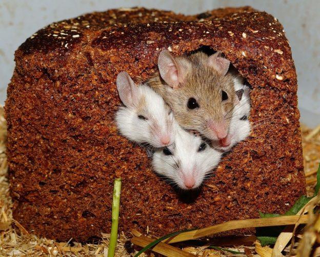 Des souris
