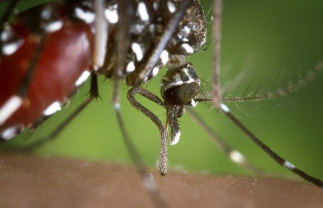 La femelle moustique tigre