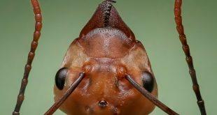 Tête de fourmi