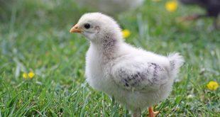 Votre poulailler peut-il être contaminé par la grippe aviaire ?