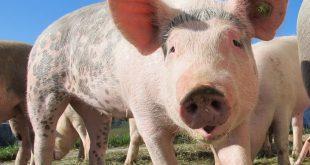 La gélatine de porc est identifiée dans de multiples produits alimentaires