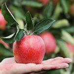 Passer une pomme sous l'eau avec du bicarbonate de soude, une astuce contre les pesticides